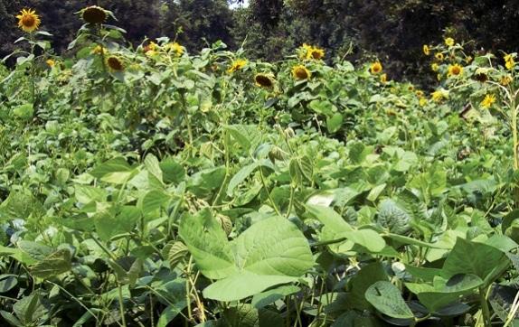 cowpeas_lab_lab_sunflower_1_574_362_s