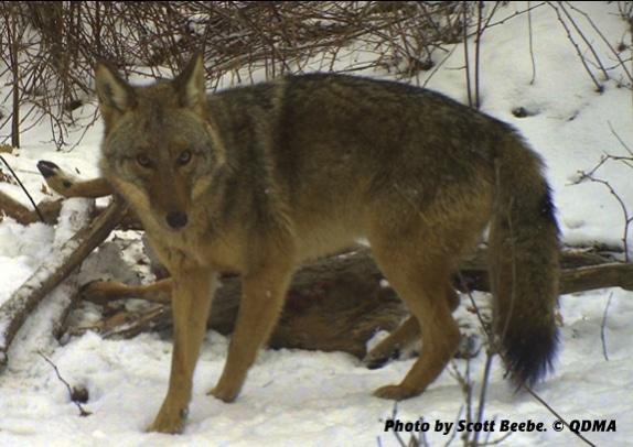 coyote-kipskorner-scottbeebe_574_406_s