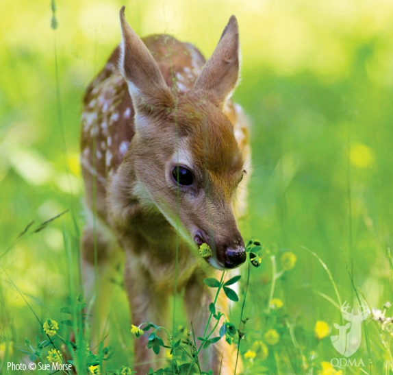 fawn_foraging_cc1_574_547_s