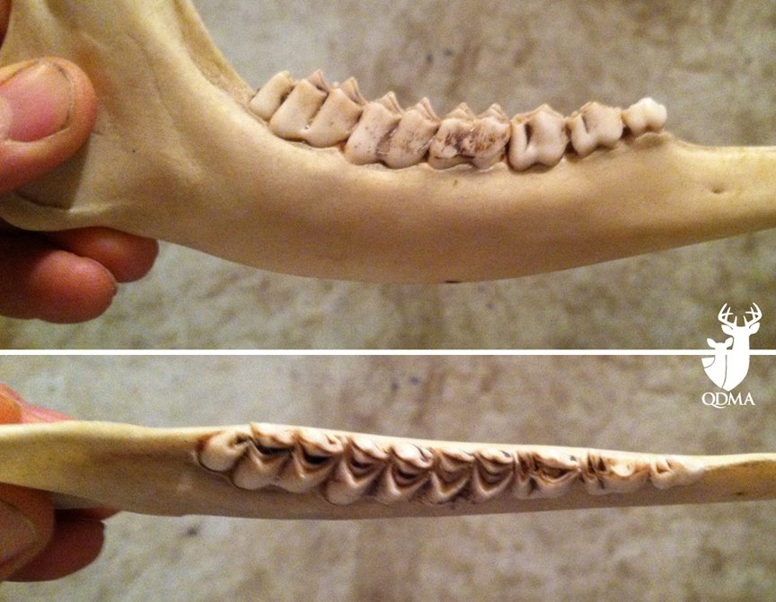 If you are photographing a deer jawbone so the jawbone can be aged later based on the photos, be sure to take these two angles.