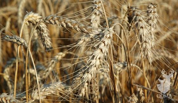 qdma_wheat_awned_2
