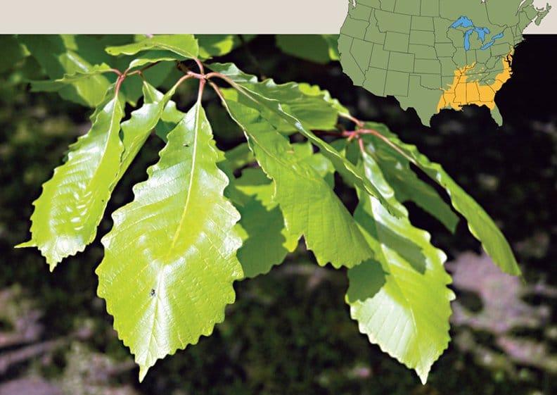 swamp_chestnut_oak_1__large