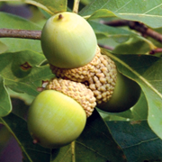 white_oak_acorn
