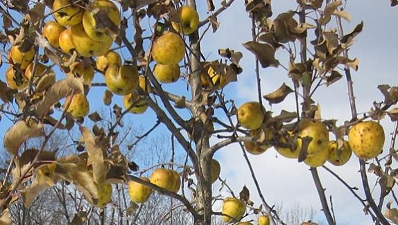 yellow_apples_574_325_s