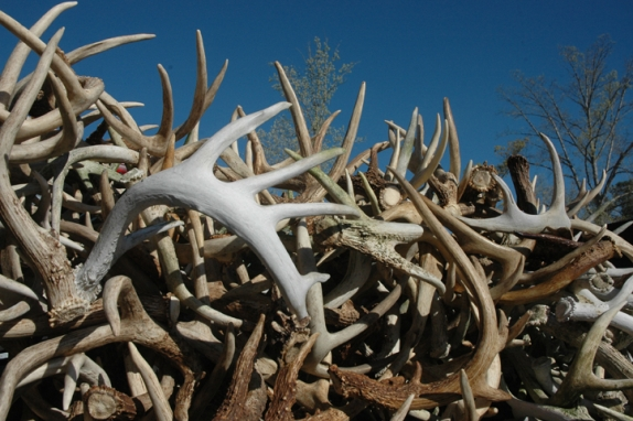 antler_growth_574_382_s