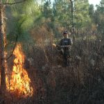 The author's son, Jake, assists with prescribed fire in a stand of longleaf pine. Longleaf tolerates fire at an early age and admits more sunlight than other pines, allowing for management of early successional cover. Note the amount of cover throughout this stand of longleafs.