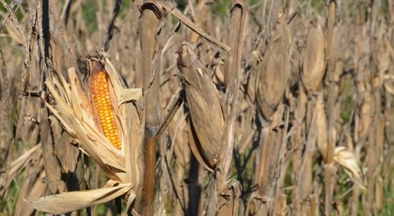 corn_pre-adjust_574_315_s