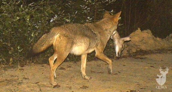 coyote_troy_duff_al_1_574_307_s