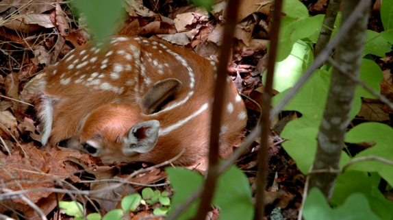 fawn_survival_574_321_s