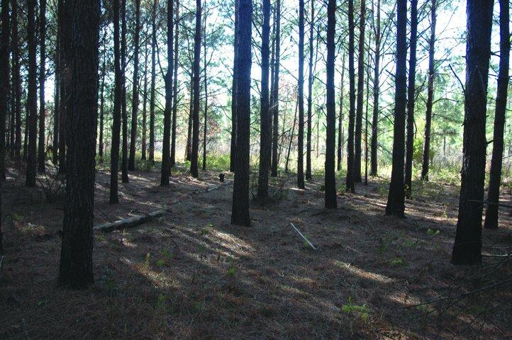 shade_pine__large