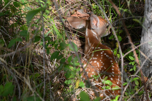 Good fawning cover is critical to keeping a young fawn hidden from predators