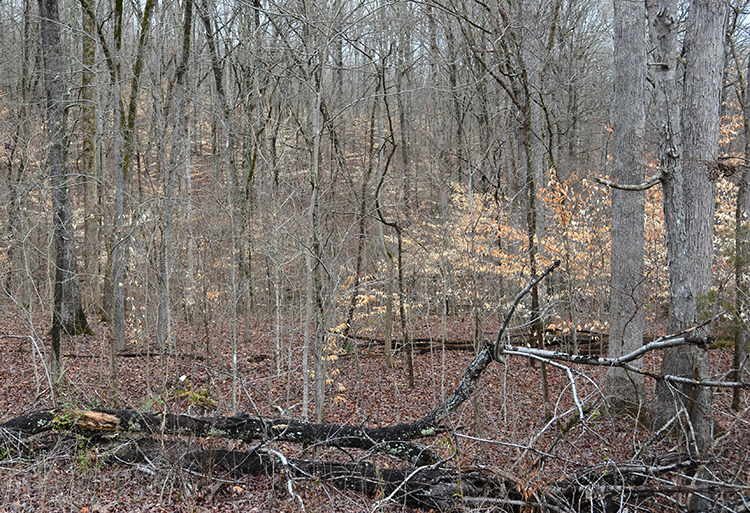 If your woods look like this, they could use some management. Killing undersirable trees by girdling and spraying, or felling, will improve the forage and cover available in the stand.