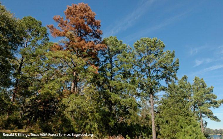 Pine needles turning red to brown is one sign of attack by ips engraver beetles.