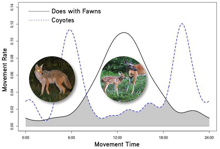 Summer Higdon of the University of Missouri discovered that does with fawns in North Carolina timed their movements to avoid peak coyote activity.