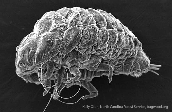 Adult hemlock wooly adelgids are tiny insects -- less than one millimeter. But the damage they are causing is huge.
