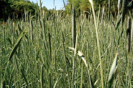 Deer do not prefer to eat the seed heads of mature rye, as they do with awnless varieties of wheat. Thus, when blending cereal grains with perennials for extended nutritional benefits, it's best to choose wheat.