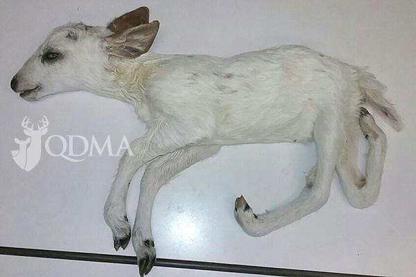 piebald xray fawn