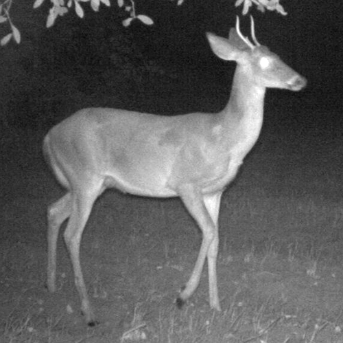 If you fumble every other aging decision but manage to protect most or all of the yearlings like this buck, your hunting is still going to get a lot better in the future.